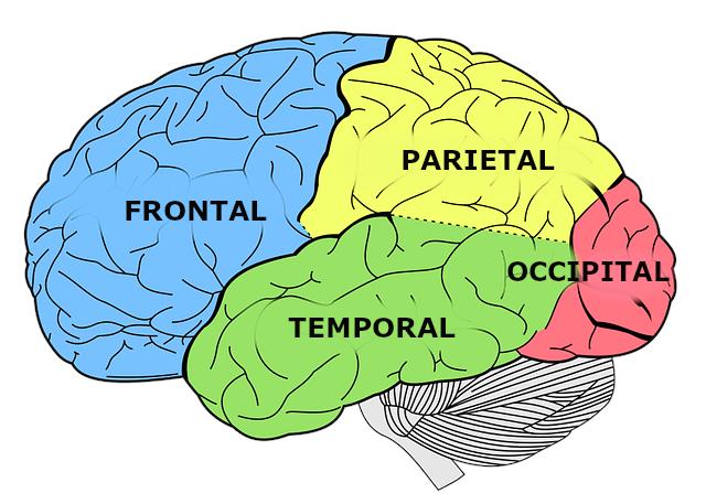 Lóbulos cerebrales para principiantes - Centros EQ & Psycolab, centro de  Psicología, Neuropsicología, Logopedia, Pedagogía en Benalmádena y Málaga